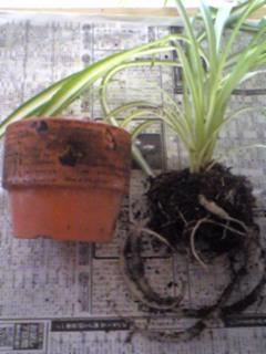 観葉植物の分裂。。。